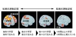 運動記憶の脳部位