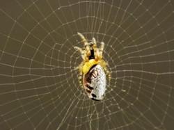 ハチの幼虫がクモの脳神経を操る