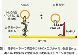 記憶形成における受容体輸送