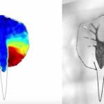 機械と生物のハイブリッド、心筋細胞を使った「エイ型ロボット」が開発された